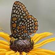 Baltimore Checkerspot With Black-eyed Susan Poster