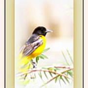 Baltimore Oriole 4348-11 - Bird Poster