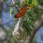 Baltimore Oriole And Nest Poster