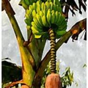 Banana Trees With Fruits And Flower In Lush Tropical Garden Poster