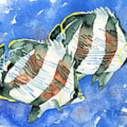 Banded Butterflyfish Poster