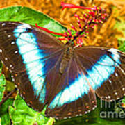 Banded Morpho Butterfly Poster