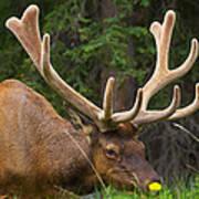 Banff Elk Poster