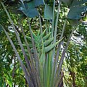 Bannana Palm Poster