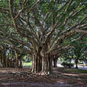 Banyan Tree Reaching For The Sky Poster