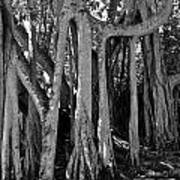 Banyan Trees Poster