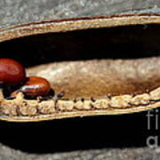 Baptisia Seeds Poster
