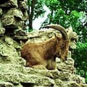 Barbary Sheep 2 Poster