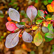 Barberry Poster