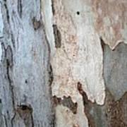 Bark Of A Eucalyptus Tree Poster
