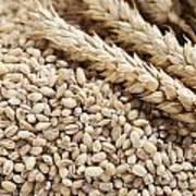 Barley Grains And Stalks Poster