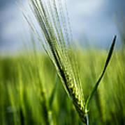 Barley Poster