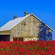 Barn In Red Clover Poster by Denise Darby