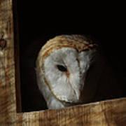 Barn Owl 5 Poster