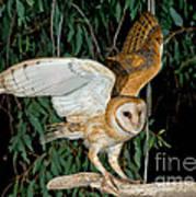 Barn Owl Alights Poster