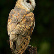 Barn Owl At Twilight Poster