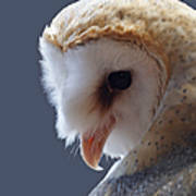 Barn Owl Dry Brushed Poster