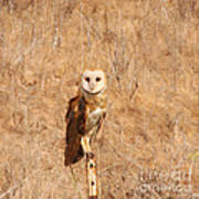 Barn Owl Perching Poster
