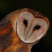 Barn Owl Portrait II Poster