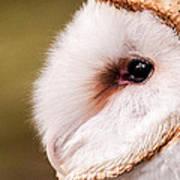 Barn Owl Profile Poster