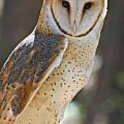 Barn Owl Raptor  Poster