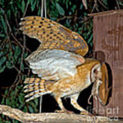 Barn Owl With Prey Poster