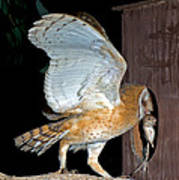 Barn Owl With Rat Poster