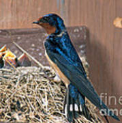 Barn Swallow At Nest Poster