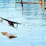 Barn Swallow In Flight Poster