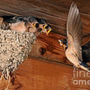 Barn Swallow Nest Poster by Scott Linstead
