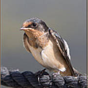 Barn Swallow On Rope I Poster by Patti Deters