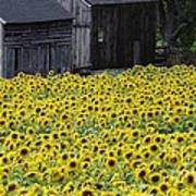 Barns And Sunflowers Poster