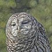 Barred Hoot Owl Photo Art Poster
