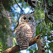 Barred Owl And Holly Poster