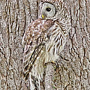 Barred Owl Camouflage Poster