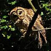 Barred Owl  Hello Poster