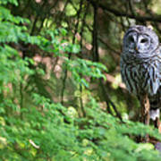 Barred Owl In Forest Poster