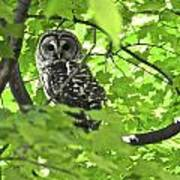 Barred Owl In Hiding Poster