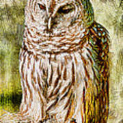 Barred Owl On Moss Poster