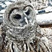 Barred Owl Photo Art Poster