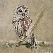 Barred Owl Portrait Poster