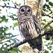 Barred Owl Staring Poster