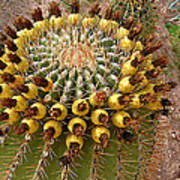 Barrel Cactus Bearing Fruit At El Mirador Rv Resort In San Carlos-sonora-mexico Poster