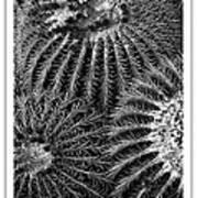 Barrel Cactus Poster Poster