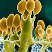 Basidiomycota Sem Poster by Biophoto Associates
