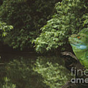 Basilisk Lizard Poster