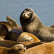Basking Sea Lions Poster