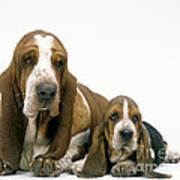 Basset Hound Dogs Poster