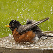 Bathing Robin Poster