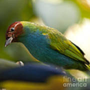 Bay-headed Tanager - Tangara Gyrola Poster
